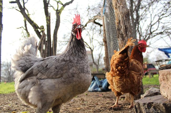 2012-02-28_Chickens_Maria_Arrellaga8383