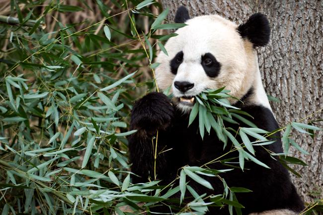 AP_Panda