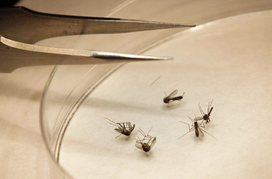 <p>Mosquitos are sorted at the Dallas County mosquito lab in Dallas, Thursday, Aug. 16, 2012.</p>