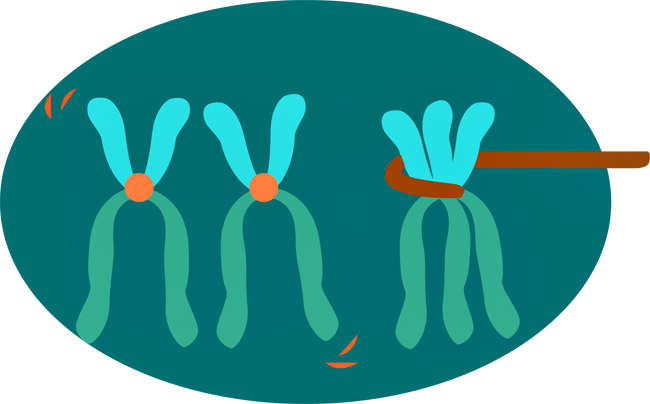1115_RaquelB_chromosomes