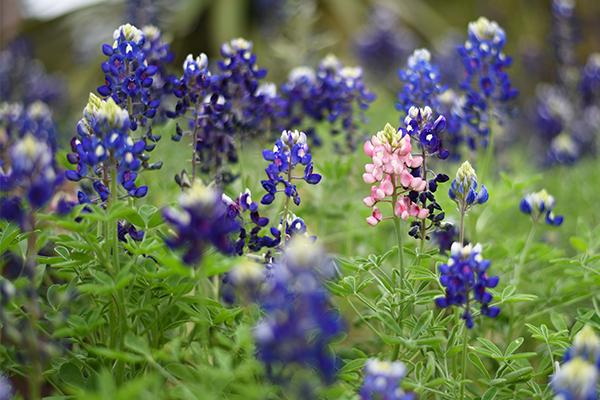 Wildflowers_2019_2_12_Wildflower_Mariana