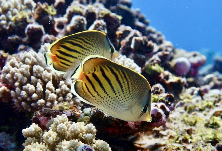 UT-Austin researchers find that picky-eater fish threaten coral reef food webs around the world